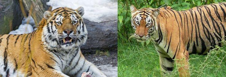 Siberian Tiger Vs Bengal Tiger Fight