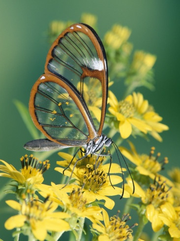 Glasswing Butterfly (Pteronymia Sp) of the Family Ithomiinae, Asteraceae, Cloud Forest, Costa Rica