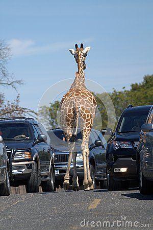 Rear view of a giraffe. The giraffe is walking along an asphalt road between two rows of cars. Blue sky. Brown skin. Dark cars. The gray road. Hoof of a giraffe.