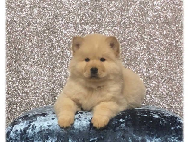 55 Chow Chow Uk In 2020 Puppy Adoption Puppies Chowski Puppies