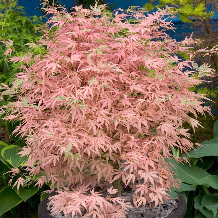 Acer palmatum Taylor - Tall Shrubs & Trees (2.5m+) - Shrubs By Size - Shrubs - J. Parker's