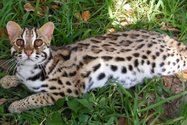 The Asian leopard cat, also known as Mokave cat, is a small wild cat breed mainly native to South and East Asia. The leopard cat has striking beautiful spots just like leopards and that's why they get the name. People may freak a little at first sight if they didn't see the face and only saw the body of the animal. Today we ...