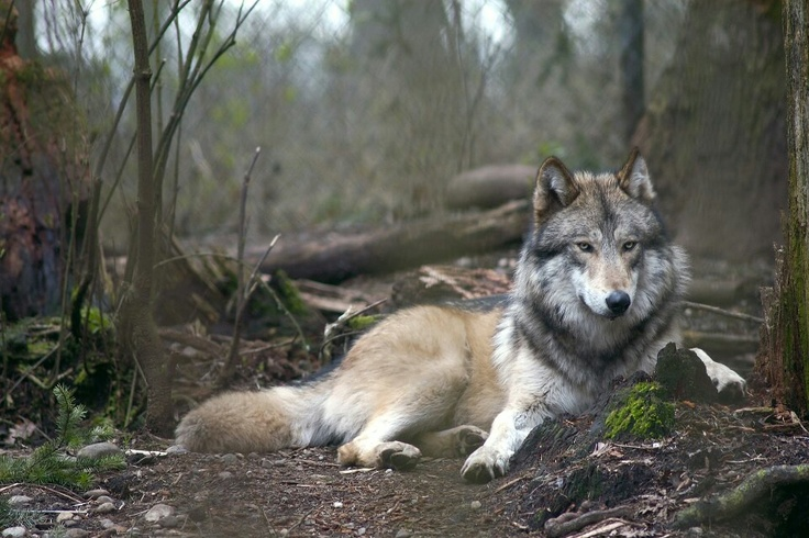 Yukon....lives at Wolf Haven International