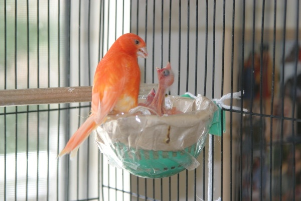 Red factor canaries they need a special diet to keep their color