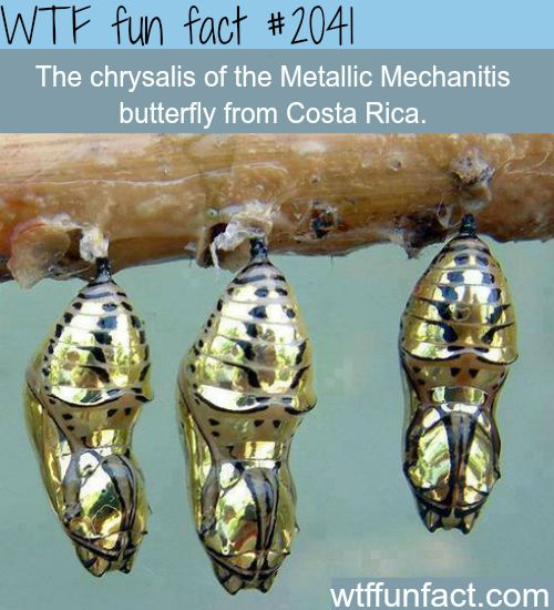 The chrysalis of the Metallic Mechanitis - WTF fun facts