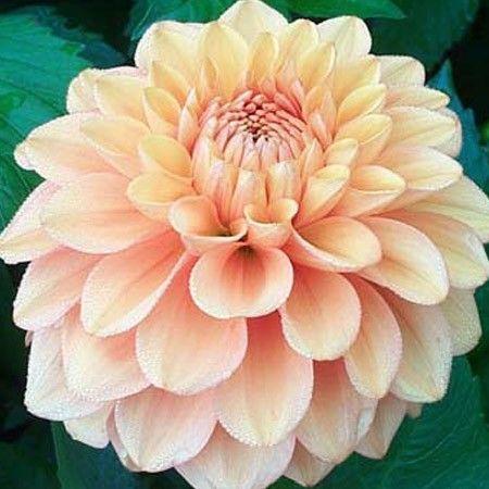 "Brandysnap Dahlia (4-6"" bloom): orange; decorative."