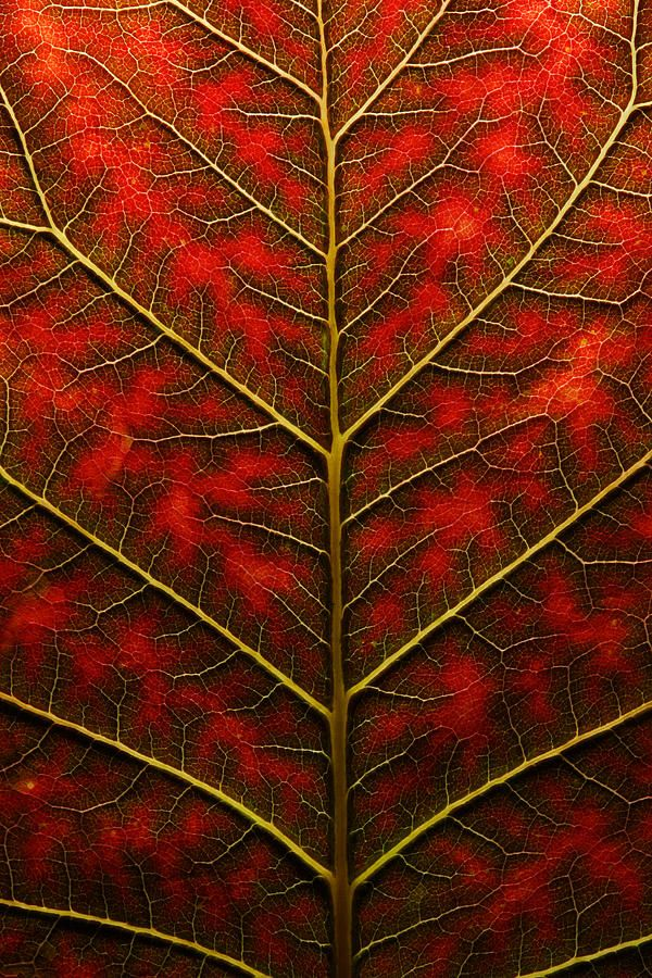 Backlit, Close Up Of A Smoke Tree Leaf  Joe Petersburger