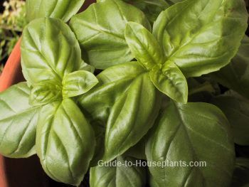How to Grow Basil Indoors: Growing Basil Herb on Your Windowsill