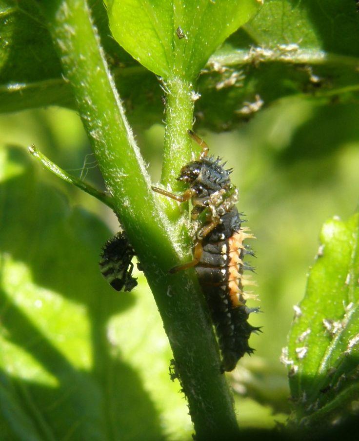 Les 25 meilleures id es de la cat gorie larve coccinelle - Larve de mite ...