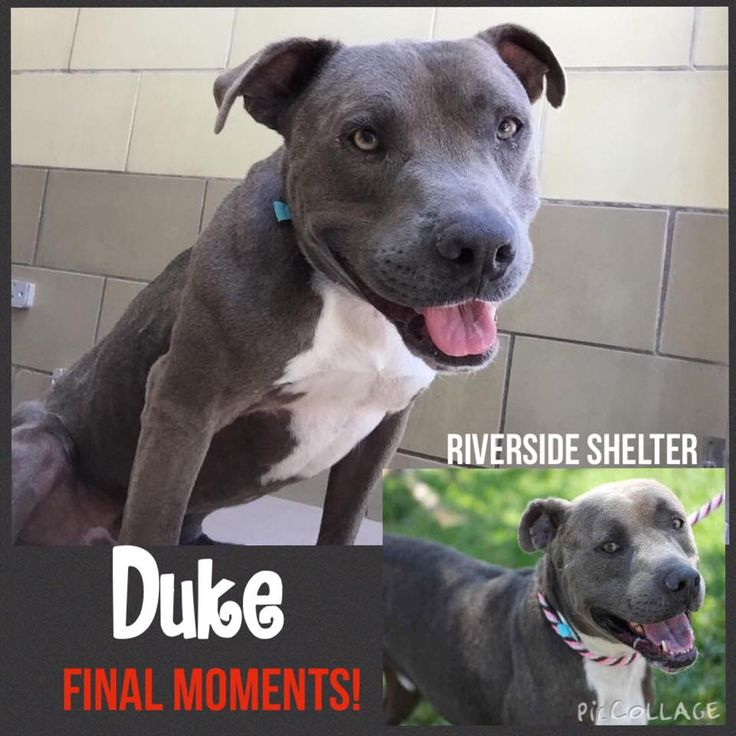 09/09/15-CODE RED - FINAL CALL!! Pit a Boo August 23 · Edited · 9/9 UPDATE: THE FINAL WALK! Duke will take his final walk at anytime if no one steps out NOW! DUKE #A1219480 (URGENT! HE'S BEEN AVAILABLE SINCE 8/6) SURRENDERED HERE BY HIS PEOPLE! VIDEO: http://www.youtube.com/watch?v=l4qYi0FN91o My name is DUKE. I am a neutered male, blue and white Pit Bull Terrier. The shelter staff think I am about 2 years old. I have been at the shelter since Aug 06, 2015. For more information about this