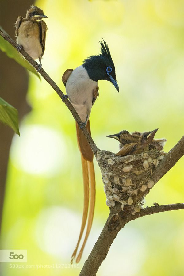 """superbimages:  """"Save Us for your Children: Asian Paradise Flycatcher Family by RiazSiddiki http://ift.tt/1LgsbmA  """""""