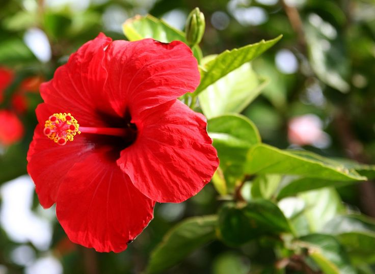 Hibiscus Choublak Flower Used In Tea For Cough Hibiscus Rosa Sinensis Gudhal Flower Hibiscus Plant