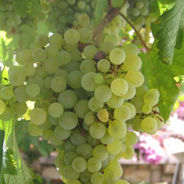 17 Best Images About Good Grapes On Pinterest