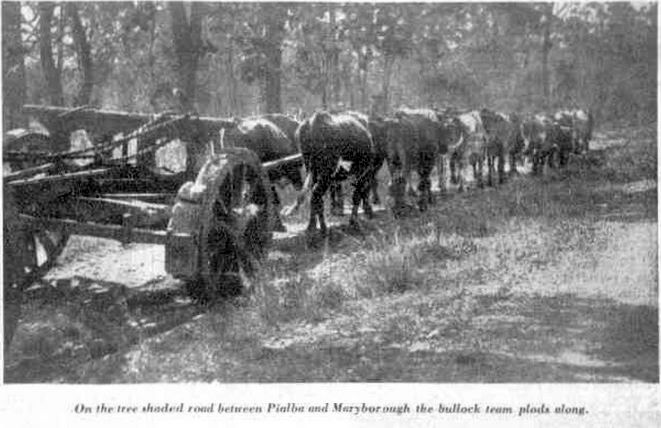 1936 On the tree-shaded road between Pialba and Maryborough, the bullock team  plods along.