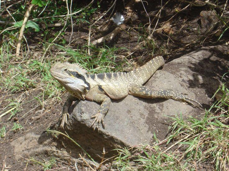 Dragon Lizard, North Rainbow Bay Headland, Coolangatta, Gold Coast, Australia