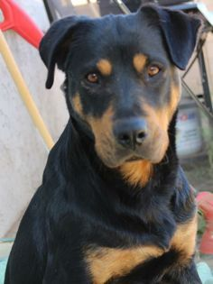 Labrador And Rottweiler Mixed Breed - Looks like our Bella.