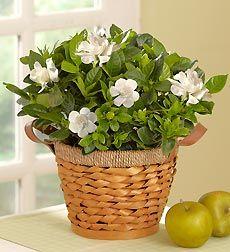 Indoor Gardenia Care Tips - Gardenia jasminoides