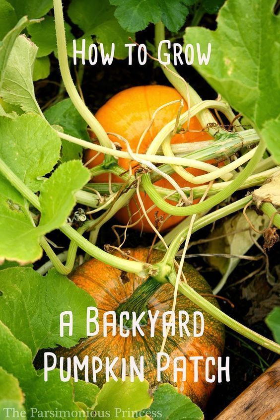 The Parsimonious Princess: How to Grow a Backyard Pumpkin Patch
