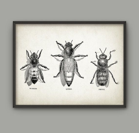 Vintage Bee Print - Queen Bee - Worker Bee - Drone Bee - Honey Bee - Beehive - Beekeeping - Bee Art - Bee Illustration - Melittology - AB517  This Vintage Bee poster is printed using high quality archival inks on heavy-weight archival paper with a smooth matte finish. A fantastic gift or a fabulous addition to your home!  Please choose between different colors and sizes.  ---------------------------------------------------------------------------------------------  FLAT RATE SHIPPING: Any…