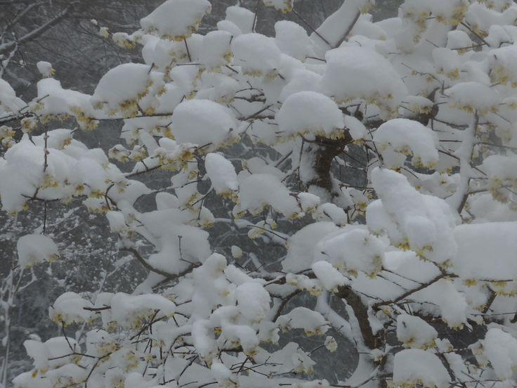 雪と蝋梅(その2)