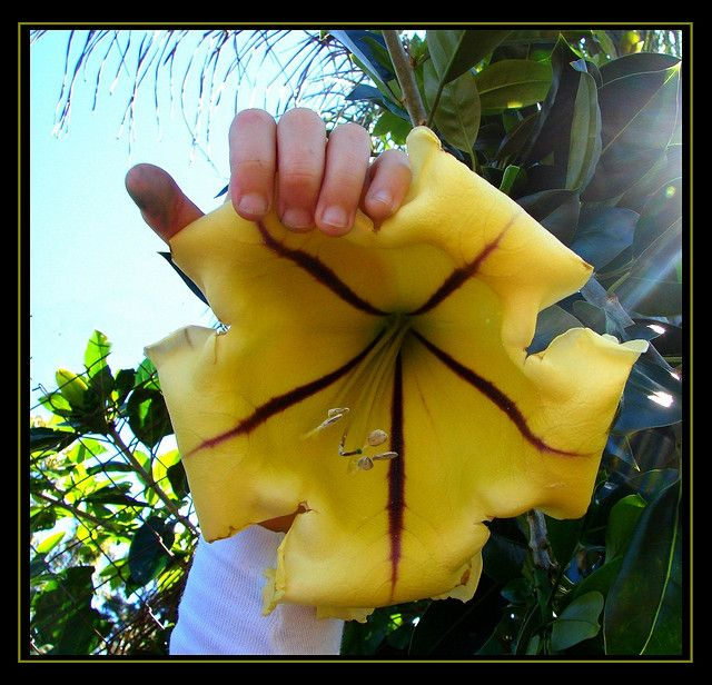 100 best vines in the philippines images on pinterest rare flowers solandra maxima cup of gold vine flowers 30 train on fence or wall mightylinksfo