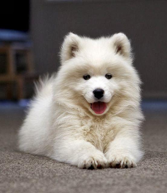 Samoyed Puppy - so fluffy!!