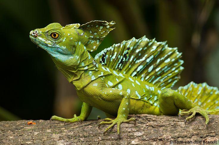 "(via 500px / Photo ""Jesus Christ lizard male"" by Tom van den Brandt) - animals-of-the-world.tumblr.com"