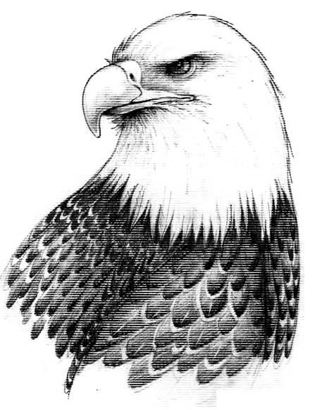 Realistic Eagle Drawing | Bald Eagle Drawings, The Big Birds of Prey