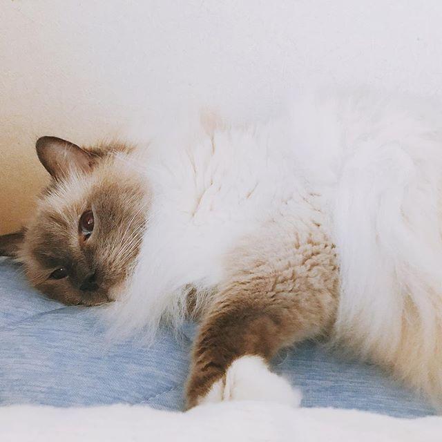僕ちゃん💕おはよう〜〜☀️ 今日も暑いよ💦 でも頑張ろう💪 * * * #ラグドール #11歳 #男前  #おはよう #熱帯夜 #cat  #愛猫 #彼氏