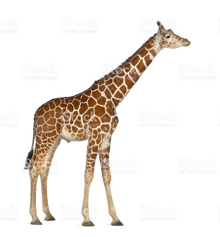 21 best petite lap animals images on Pinterest Giraffes, Animal - griffe für küche