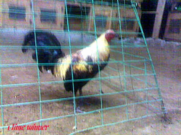 Sabong is a cockfighting and gamefowl, gamecock portal. Focus in the Philippines with members from all corners of the globe, cock fighting is an international and age old sport. World Slasher Cup Derby Video and DVD, cockpit schedule, results, conditioning and nutrition, real property, business and hotels in the Philippines.