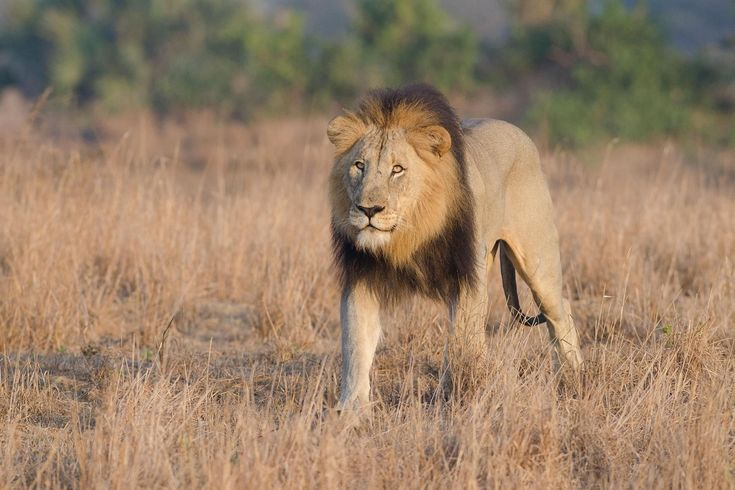 Suspected Poacher Mauled by Lions : The man's exact motives for trespassing at the reserve are not yet known, but he was killed in a region known for rhino poaching.