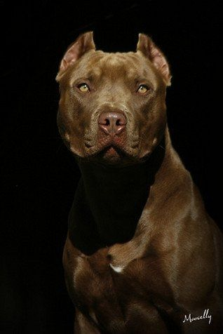 25 best ideas about pitbull terrier on pinterest - Dessin de pitbull ...