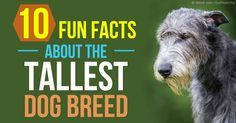 The Irish Wolfhound is the tallest of all dog breeds, but despite his intimidating size, he's a gentle giant -- an intelligent, calm, and loyal breed. http://healthypets.mercola.com/sites/healthypets/archive/2015/09/25/irish-wolfhound-facts.aspx