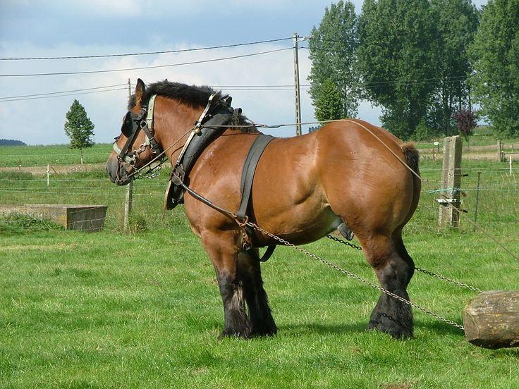 cheval de trait
