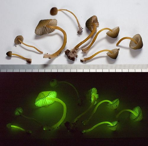 bioluminescence in fungi essay Fire or chimpanzee fire, is the bioluminescence created by some species of fungi present in decaying wood the bluish green glow is attributed to a luciferase, an  our culture is decaying essay pdf download created date.