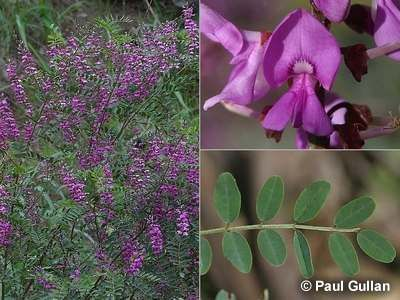 Indigofera Australis - upright to 2m with flexible stems. Purple flowers in spring. Tolerant of varied conditions. well drained soil. trim after flowering season.
