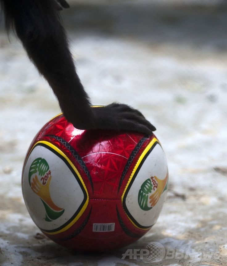 コロンビア・アンティオキア(Antioquia)県メデジン(Medellin)のサンタフェ動物園(Santa Fe Zoo)で、サッカーW杯ブラジル大会(2014 World Cup)の公式ロゴマークが描かれたボールで遊ぶクモザル(2014年6月12日撮影)。(c)AFP/Raul ARBOLEDA ▼13Jun2014AFP|動物たちもW杯をエンジョイ!コロンビア http://www.afpbb.com/articles/-/3017595 #Santa_Fe_Zoo #Atelidae #Klammerschwanzaffen #Grijpstaartapen #Spider_monkey #Ateles #Atele #Klammeraffen #Slingerapen
