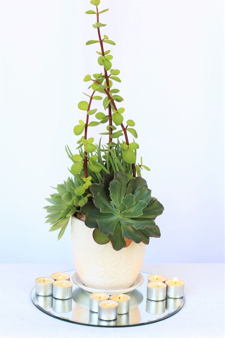 White Ceramic Flower Pot With Three Large Rosette Succulents And Tall Jade Sprigs Available For Wedding Hire From Succulent Centrepieces