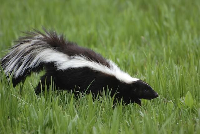 These guys get a bad rap, but there's amazing chemistry and crazy behavior behind the animal kingdom's smelly outcast. 10 Pungent Facts About Skunks | Mental Floss