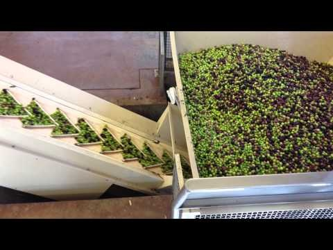 The fruit is picked from the trees and delivered to the mill where the olives are emptied into a holding bin where the stems and leaves are separated from the fruit. Then, the olives, in all their naked glory, take a short ride on a conveyer belt to get washed.