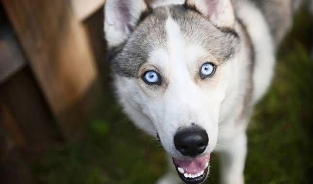 Siberian Husky Blue Eyes In Hyderabad Siberian Husky Dog