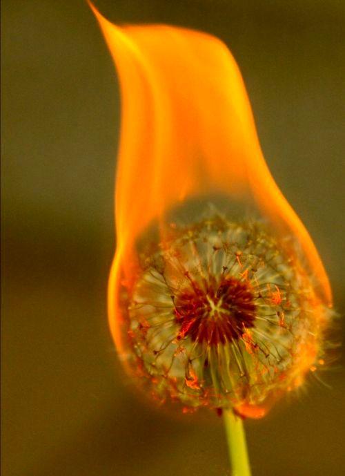 Burning Dandelion - Imgur