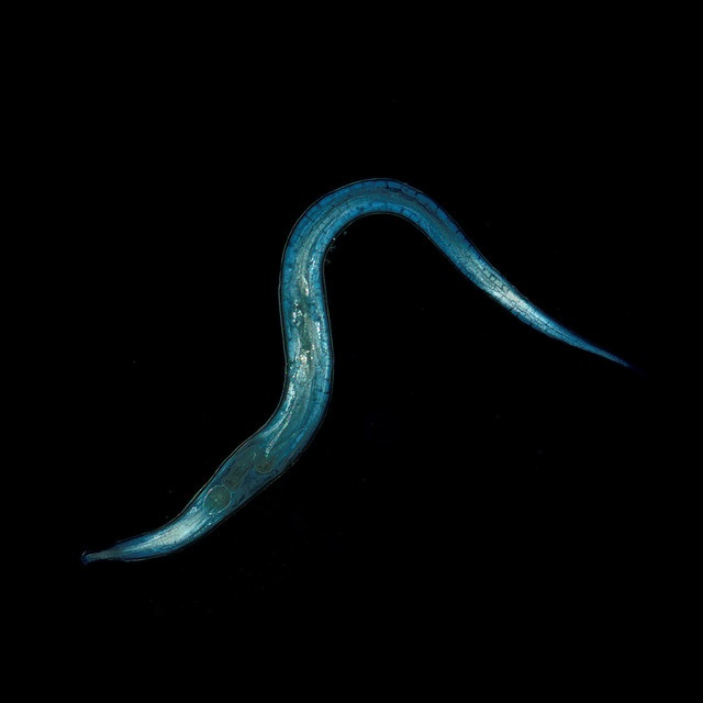 255 best images about Phylums Nematoda & Platylminths ...