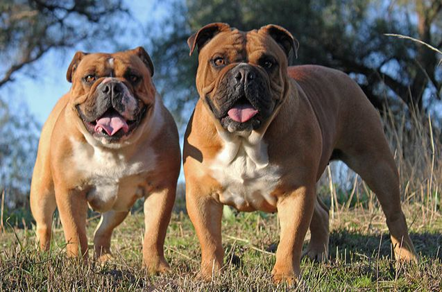 The Australian Bulldog bears a striking resemblance to the English Bulldog.