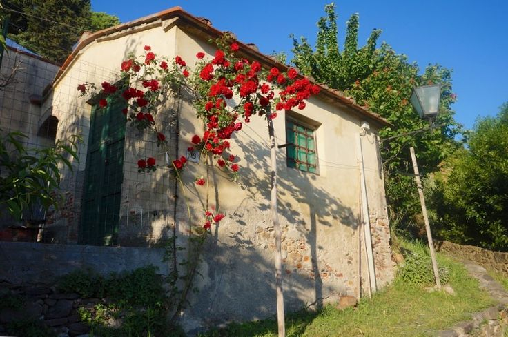 The winding lanes of Vicopisano with springtime Roses around a rustic building