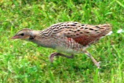 Corncrake http://www.thewesternisles.co.uk/Assets/Images/rarebirds/bird-sightings-corncrake-5.jpg