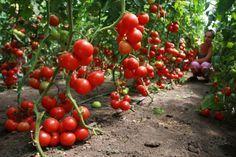 Волшебный бальзам для роста помидоров!.