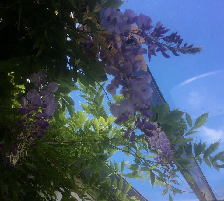 Winstera sinensis - Blåregn