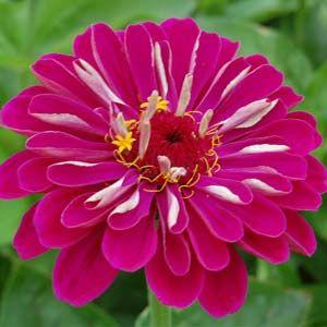 Fotos de flores Zínias